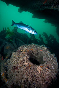 Seabass (Dicentrarchus labrax) swimming through the wreck of the Fleur De Lys, Swanage, Dorset, UK, July  -  Alex Mustard / 2020VISION