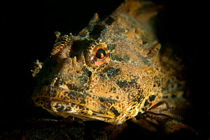 Portrait of Long spined sea scorpion (Taurulus bubalis) resting on the seabed, Sesley, West Sussex, UK, May  -  Alex Mustard / 2020VISION
