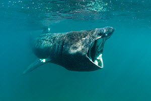Basking shark (Cetorhinus maximus) feeding on plankton (visible as white dots in the water) off Lands End, Cornwall, UK, June. - Alex Mustard / 2020VISION