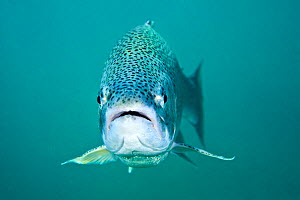 Rainbow trout (Oncorhynchus mykiss) portrait,  Capernwray, Lancashire, UK, July  -  Alex Mustard / 2020VISION