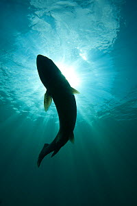 Silhouette of Brown trout (Salmo trutta) in  freshwater lake, Capernwray, Lancashire, UK, July  -  Alex Mustard / 2020VISION