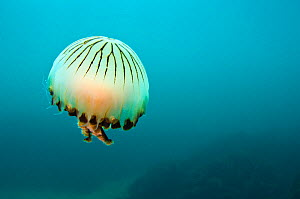 Compass jellyfish (Chrysaora hysoscella) swimming over a rocky reef, Plymouth, Devon, UK, August. Did you know? Compass jellyfish change gender throughout their lives, starting off male, and later bec...  -  Alex Mustard / 2020VISION