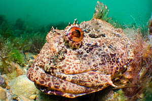 Sea scorpion / scorpionfish (Taurulus bubalis) waiting on seabed to ambush prey, Selsey, West Sussex, UK, May  -  Alex Mustard / 2020VISION