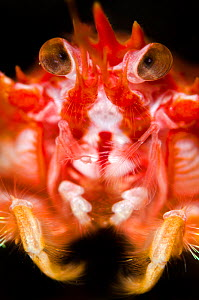 Long-clawed squat lobster (Munida rugosa) portrait, Loch Fyne, Argyll and Bute, Scotland, UK, June - Alex Mustard / 2020VISION