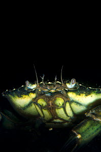 Common shore crab (Carcinus maenas) in the dark waters of Loch Fyne, Argyll, Scotland, UK, June  -  Alex Mustard / 2020VISION