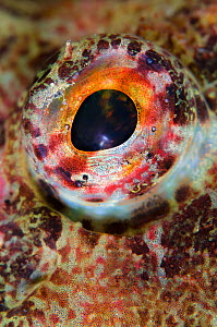 Close up of eye of Sea scorpion / scorpionfish (Taurulus bubalis) Loch Fyne, Argyll and Bute, Scotland, UK, June  -  Alex Mustard / 2020VISION