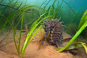 Yellow / spiny seahorse (Hippocampus guttulatus) female sheltering is meadow of common Eelgrass (Zostera marina) Studland Bay, Dorset, UK, August. Did you know? The two species of seahorse found in Br... - Alex Mustard / 2020VISION