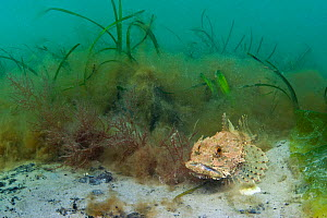Sea scoropion / scorpionfish (Taurulus bubalis) on edge of an Eelgrass (Zostera marina) meadow (overgrown with filamentous algae), Studland Bay, Dorset, UK, May  -  Alex Mustard / 2020VISION