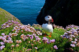 Puffin (Fratercula arctica) by entrance to its burrow amongst flowering Sea thrift (Armeria maritima) Sumburgh Head, Shetland Islands, Scotland, UK, June 2011  -  Alex Mustard / 2020VISION