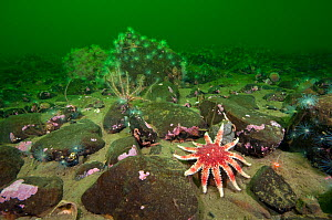 Common sunstar (Crossaster papposus), brittlestars and sealoch anemones form a typical undersea community in a Scottish sea loch, Loch Duich, Ross and Cromarty, Scotland, UK, April 2011  -  Alex Mustard / 2020VISION