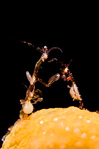 Group of Skeleton shrimps (Caprella sp) a large male and two pregnant females, feeding on plankton while standing on Dead man's fingers soft coral (Alcyonium digitatum). Wreck of the MV Lunokhods, She...  -  Alex Mustard / 2020VISION