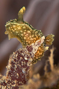 Nudibranch (Palio nothus) in front of a Snakelocks sea anemone, Swanage Pier, Dorset, UK  -  Alex Mustard / 2020VISION