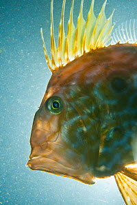 John dory (Zeus faber) portrait, Babbacombe Bay, Devon, UK, October  -  Alex  Mustard / 2020VISION