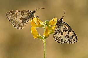Two Marbled white butterflies (Melanagria galathea) resting on Meadow vetchling (Lathyrus pratensis), Powerstock Common DWT reserve, Dorset, UK, July  -  Guy Edwardes / 2020VISION