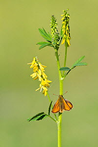 Small skipper butterfly (Thymelicus sylvestris) resting on Ribbed meliot (Meliotus officinalis), Powerstock Common DWT reserve, Dorset, UK, June - Guy Edwardes / 2020VISION