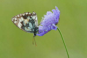 Marbled White Butterfly (Melanagria galathea) resting on Small Scabious (Scabiosa colombaria) flower, Badbury Rings, Dorset, UK, July. Did you know? The marbled white is actually a strikingly coloured... - Guy Edwardes / 2020VISION