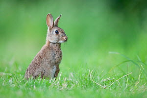Rabbit (Oryctolagus cuniculus) on grassland, Hardington Moor NNR, Somerset, UK, June - Guy Edwardes / 2020VISION