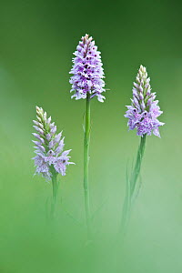 Common-spotted Orchid (Dactylorhiza fuchsii), Hardington Moor NNR, Somerset, UK, June - Guy Edwardes / 2020VISION