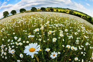 Traditionally managed wildflower meadow with Ox-eye daisy (Leucanthemum vulgare), Hardington Moor NNR, Somerset, UK, June 2011, fish-eye lens. Did you know? Around 70% of UK farmland is under agri-env... - Guy Edwardes / 2020VISION