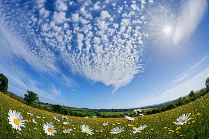 Traditionally managed wildflower meadow with Ox-eye daisy (Leucanthemum vulgare), Hardington Moor NNR, Somerset, UK, May 2011, fish-eye lens. Did you know? Ox-eye daisies used in Medieval times to tre... - Guy Edwardes / 2020VISION