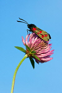 Six-spot burnet moth (Zygaena filipendulae) resting on Red Clover (Trifolium pratense) Kingcombe Meadows DWT reserve, Dorset, UK, May - Guy Edwardes / 2020VISION