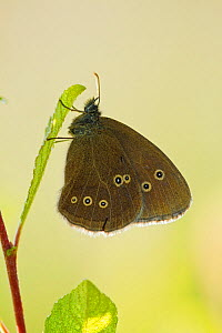 Ringlet butterfly (Aphantopus hyperanthus) with wings closed, Somerset Levels, UK, July  -  Guy Edwardes / 2020VISION