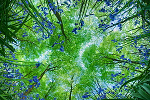 Looking up through carpet of Bluebells (Endymion nonscriptus) to Beech (Fagus sylvatica) woodland canopy, Micheldever Woods, Hampshire, England, UK, April - Guy Edwardes / 2020VISION