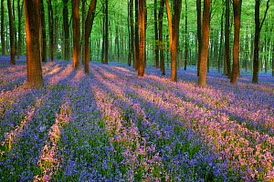 Carpet of Bluebells (Endymion nonscriptus) in Beech (Fagus sylvatica) woodland at dawn, Micheldever Woods, Hampshire, England, UK, April.  -  Guy Edwardes / 2020VISION