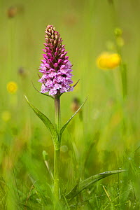 Common spotted orchid (Dactylorhiza fuchsii), flower spike in meadow, UK, June  -  Mark Hamblin / 2020VISION