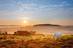 New Forest pony grazing on Latchmore Bottom at dawn, view from Dorridge Hill, The New Forest National Park, Hampshire, England, UK, July 2011. 2020VISION Book Plate. Did you know? The New Forest was m... - Guy Edwardes / 2020VISION