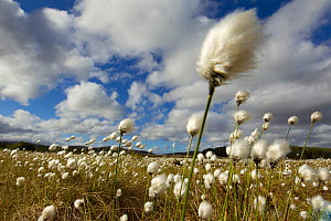 Harestail cotton-grass (Eriophorum vaginatum) growing on bog moorland, Scotland, UK, May. Did you know? Cottongrass was formerly used to stuff pillows and as dressings for wounds. - Mark Hamblin / 2020VISION