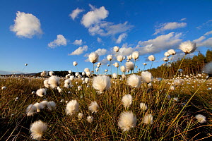 Harestail cotton-grass (Eriophorum vaginatum) growing on bog moorland, Scotland, UK, May  -  Mark Hamblin / 2020VISION