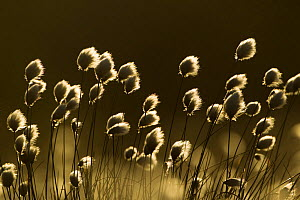Harestail cotton-grass (Eriophorum vaginatum), backlit in late evening light, bog moorland, Scotland, UK, May  -  Mark Hamblin / 2020VISION