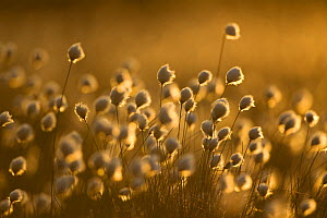 Harestail cotton-grass (Eriophorum vaginatum), backlit in late evening light, bog moorland, Scotland, UK, May. 2020VISION Exhibition. 2020VISION Book Plate. Did you know? During World War One, Cotton...  -  Mark Hamblin / 2020VISION