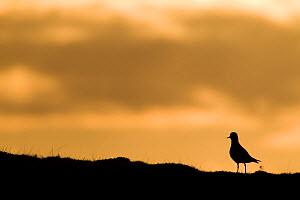 Golden plover (Pluvialis apricaria) silhouette at sunrise on moorland, Scotland, UK, June  -  Mark Hamblin / 2020VISION