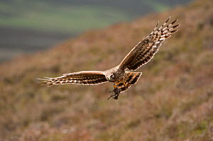Hen harrier (Circus cyaneus) adult female in flight approaching nest with food for chicks, Glen Tanar Estate, Grampian, Scotland, UK, June. Winner, documentary series category, British Wildlife Photog... - Mark Hamblin / 2020VISION