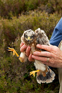 Research scientist replacing Hen harrier chick (Circus cyaneus) to nest after ringing, Glen Tanar Estate, Grampian, Scotland, UK, June 2011 - Mark Hamblin / 2020VISION