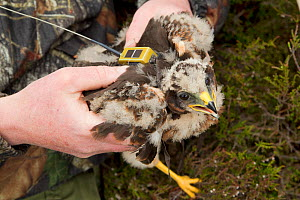 Research scientists fitting satellite transmitter to Hen harrier chick (Circus cyaneus) for tracking movements after fledging. Glen Tanar Estate, Grampian, Scotland, UK, June 2011. Winner, documentary... - Mark Hamblin / 2020VISION