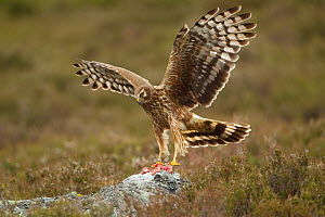 Hen harrier (Circus cyaneus) adult female landing on rock to take food as part of supplementary feeding programme on Glen Tanar Estate, Grampian, Scotland, UK, June 2011 - Mark Hamblin / 2020VISION