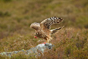 Hen harrier (Circus cyaneus) adult female on rock  taking food as part of supplementary feeding programme on Glen Tanar Estate, Grampian, Scotland, UK, June 2011. Winner, documentary series category,... - Mark Hamblin / 2020VISION