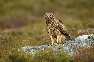 Hen harrier (Circus cyaneus) adult female perched on rock, moorland habitat, Glen Tanar Estate, Grampian, Scotland, UK, June - Mark Hamblin / 2020VISION