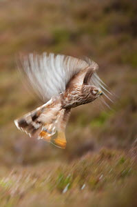 Hen harrier (Circus cyaneus) adult female in flight, moorland habitat, long exposure, Glen Tanar Estate, Grampian, Scotland, UK, June - Mark Hamblin / 2020VISION