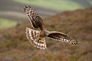 Hen harrier (Circus cyaneus) adult female in flight, landing at nest with food for chicks, moorland habitat, Glen Tanar Estate, Grampian, Scotland, UK, June  . 2020VISION Exhibition. - Mark Hamblin / 2020VISION