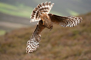 Hen harrier (Circus cyaneus) adult female diving to nest site, carrying nesting material, moorland habitat, Glen Tanar Estate, Grampian, Scotland, UK, June. Did you know? Although Hen harriers have be... - Mark Hamblin / 2020VISION
