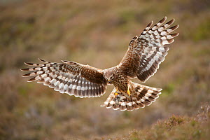 Hen harrier (Circus cyaneus) adult female in flight, approaching nest with food for chicks, moorland habitat, Glen Tanar Estate, Grampian, Scotland, UK, June - Mark Hamblin / 2020VISION