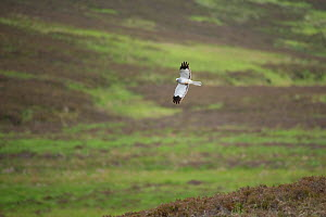 Hen harrier (Circus cyaneus) adult male in flight over moorland, Glen Tanar Estate, Grampian, Scotland, UK, June - Mark Hamblin / 2020VISION