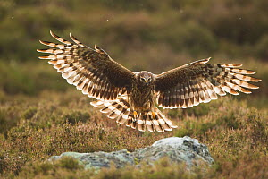 Hen harrier (Circus cyaneus) adult female landing on rock in moorland habitat, Glen Tanar Estate, Grampian, Scotland, UK, June - Mark Hamblin / 2020VISION