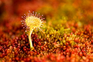 Greater sundew (Drosera anglica) growing in Sphagnum moss, Flow Country, Sutherland, Highlands, Scotland, UK, July. Did you know? Carnivorous plants grow in ecologically difficult areas � their presen...  -  Mark Hamblin / 2020VISION