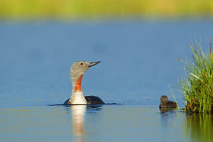 Red-throated diver (Gavia stellata) adult and young chick on breeding loch, Flow Country, North Scotland, UK, July - Mark Hamblin / 2020VISION