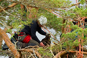 RSPB officer taking analytical measurements of White-tailed sea eagle chick (Haliaeetus albicilla) at nest in pine tree, Beinn Eighe NNR, Wester Ross, Scotland, UK, June 2011  -  Mark Hamblin / 2020VISION